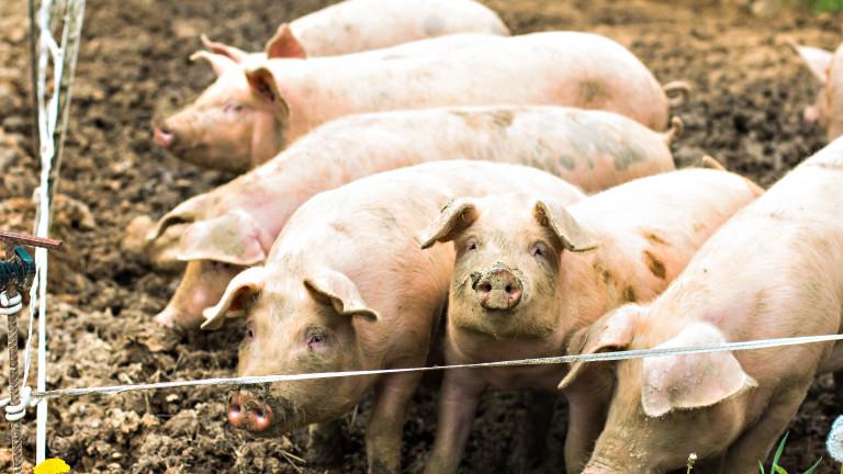 Ново съмнение за огнище на чума по свинете