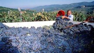 Винарите изкупили рекордни количества грозде
