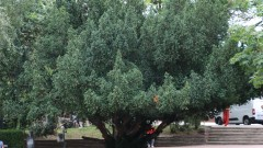 Три вековни дървета в историческата част на София са обявени за защитени