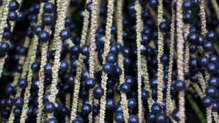 Плодът акай бери - новият хит в храненето