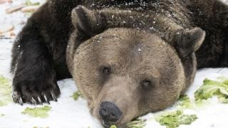 Без разрешение за отстрел убиха мечката, тормозеща села в Родопите