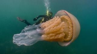 Да срещнеш медуза, голяма колкото теб