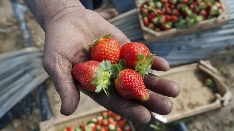 Нелегалните работници във фермите на ЕС достигат 60%