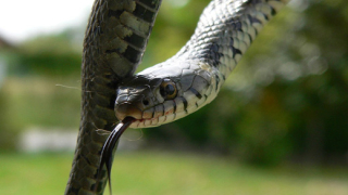 Зачестяват ухапванията от змии в Бургаско