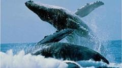 Япония възобновява лова на китове
