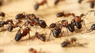 Учени обръснаха мравки