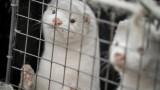 Дания спря задължителното избиване на милиони норки