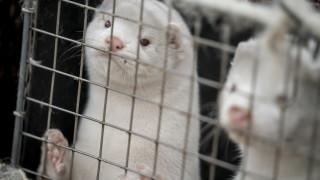 Организации се обявиха против отглеждането на норки за производство на кожи