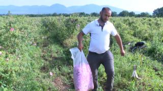 Производители на рози ще блокират пътя Пещера-Пловдив