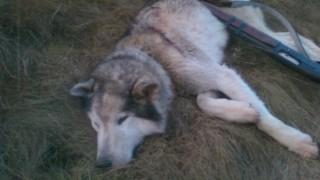 България и още 9 държави не прилагат препоръките за хибридизация на вълци с кучета