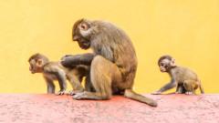 Човешки клетки в маймунски ембриони предизвикват етичен дебат