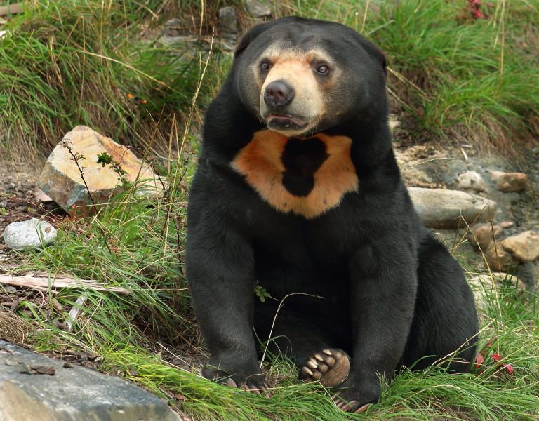 Малайска мечка