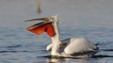 """Къдроглавите пеликани вече се размножават в природен парк """"Персина"""""""