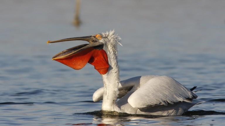 Вече има размножаващи се къдроглави пеликани в новата гнездова колония