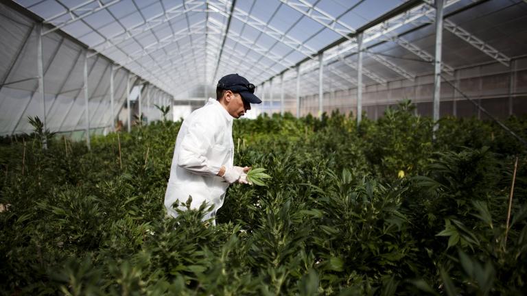 Германското правителство одобри легализирането на медицинска марихуана