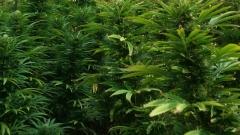 Легализираха марихуаната в Калифорния, Невада, Масачузетс, Флорида и Северна Дакота