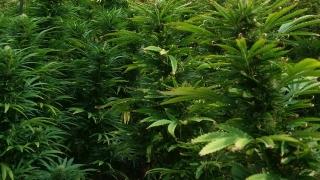 Канада приема пълна легализация на марихуаната