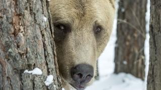Къпещата се в басейн в Сопот мечка не застрашава хората