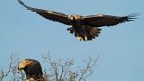 Рекорд за царския орел у нас: 37 са излюпените за този сезон