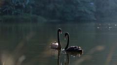 """Два черни лебеда изчезнаха от благоевградския парк """"Бачиново"""""""