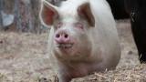 До края на деня стопаните трябва да умъртвят прасетата в Северна България