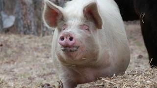 БАБХ продължава проверките за доброволно умъртвяване на свине