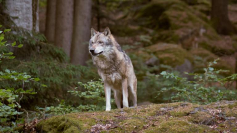Вълци притесняват жителите на Болярово