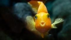 Алкохолът, който произвеждат златните рибки
