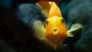 Пияници ли са златните рибки