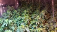 ГДБОП на крак за 50 саксии с марихуана край Разград