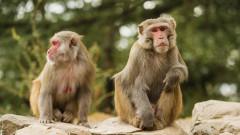 Учени присадиха успешно свински сърца на павиани