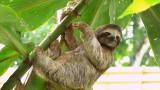 Колко често ходят по голяма нужда ленивците