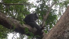 За първи път установиха диви шимпанзета, които чупят костенурки за месо