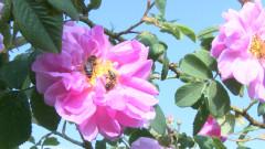 Българската роза Дамасцена забранена в храните в Китай