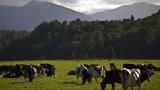 Защо Русия внесе 45 000 крави от Европа през тази година?