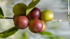 Защо плодът каму каму е толкова ценен