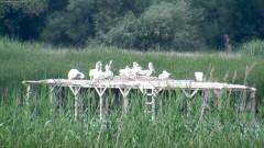 """Излюпиха се първите пеликанчета в природен парк """"Персина"""""""