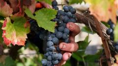 €1 млрд. загуби за винарите във Франция след студа