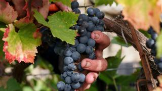 Незапомнено добра реколта от грозде в Пловдивско
