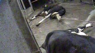 Скрита камера разкрива месо от болни крави от кланица в Полша за ЕС