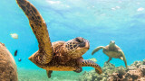 Зелените морски костенурки, Големият бариерен риф и колко хиляди се събраха край бреговете на Австралия