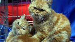Изложба събира стотици породисти котки в София