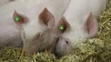 С клип БАХБ обяснява опасността от африканска чума по свинете