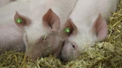 Изтича срокът за доброволно умъртвяване на прасета в Кюстендилско