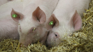 Регистрираха 4 нови огнища на чума по свинете