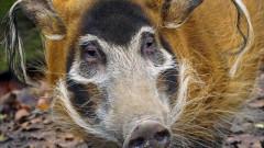 Столичният зоопарк търси средства за женско четкоухо прасе