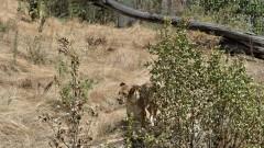 Лъвовете в Столичния зоопарк живеят в най-добрите условия