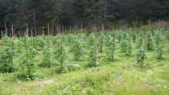"""С хеликоптер забелязаха 4.5 тона марихуана край """"Златарево"""""""