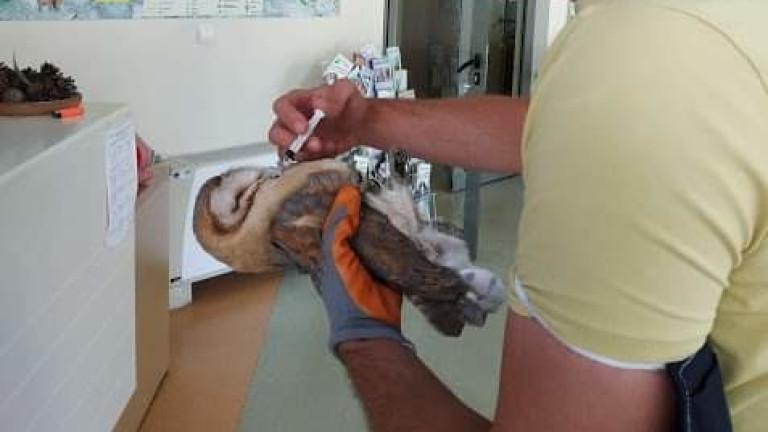 Забулена сова в беда беше спасена в Сливен. Птицата е