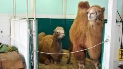Уникална операция на камила направиха в клиниката на Тракийски университет в Стара Загора